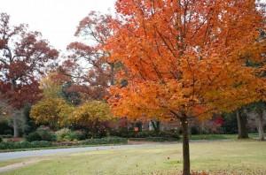 rock hill- orange trees